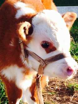 Mini Hereford Horned Bull